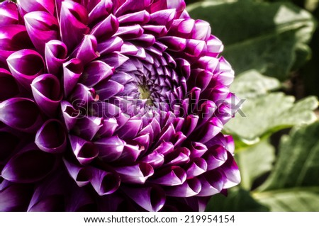 Close up photo of a colorful Dahlia flower in full bloom.  - stock photo