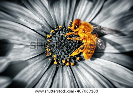 Close-up photo of a cute little yellow bee sitting on a daisies flower, honeybee collecting the pollen to produce the honey, beauty of a spring nature, black and white photography - stock photo