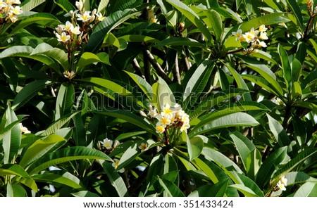 Close up photo of a flowering Frangipani tree (Plumeria) - stock photo