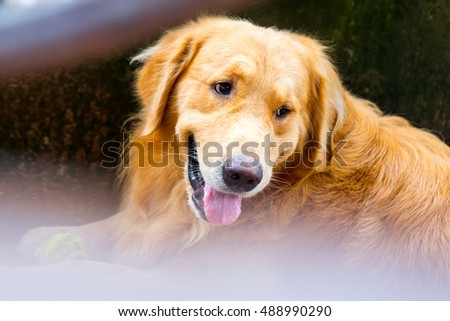 Close up photo of a golden dog