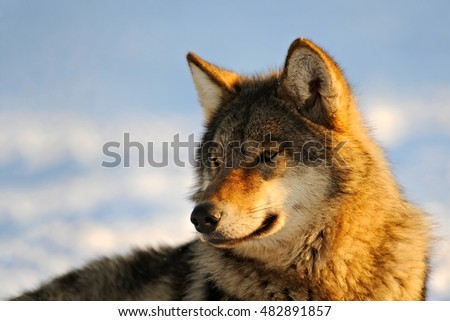 Close Up Photo Of A Grey Wolf (Canis lupus) In Its Habitat