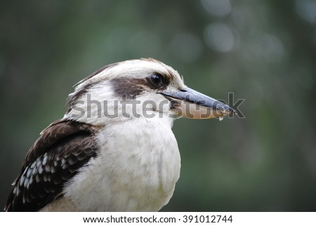 Close-up photo of a kookaburra (Australian Laughing Bird) - stock photo