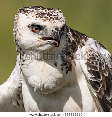 Close-up photo of a Martial Eagle. Massai Mara, Kenya. (Polemaetus bellicosus) - stock photo