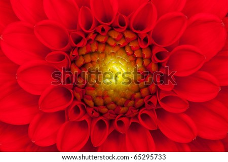 Close up photo of a red dahlia flower - stock photo