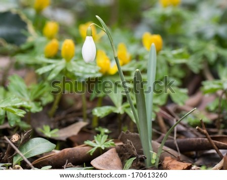 Close up photo of a single snowdrop flower with winter aconite in the background