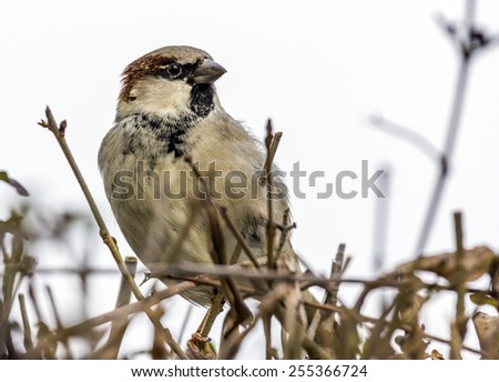 Close up photo of a sparrow sitting on twigs with its fine details visible - stock photo