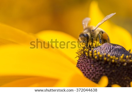Close-up photo of a Western Honey Bee gathering nectar and spreading pollen on a young Autumn Sun Coneflower (Rudbeckia nitida).  - stock photo