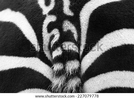 Close up photo of a zebra rear with part of the tail  - stock photo