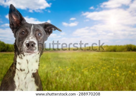 Close-up photo of an active young mixed breed dog with a field of green grass and a blue sky in the background - stock photo