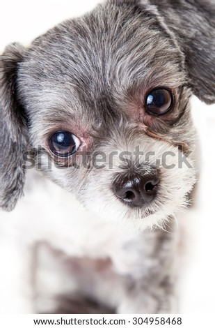 Close-up photo of an adorable little Havanese mixed breed dog looking into the camera - stock photo