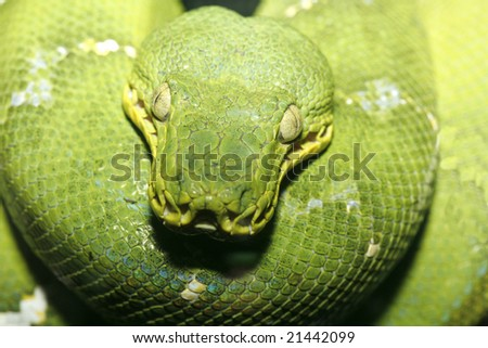 Close up photo of an Emeral Tree Boa taken with macro lens, could also be a  Green Tree Python. Scientific Name - Corallus caninus.