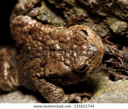 Close-up photo of big brown frog on the ground - stock photo