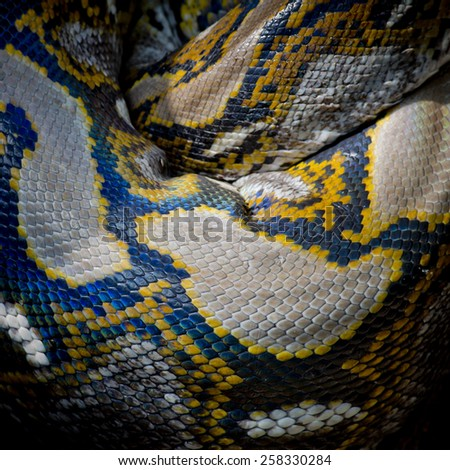 Close-up photo of burmese python (Python molurus bivittatus) isolated on black background. - stock photo
