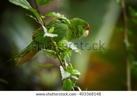Close up photo of green and red Scarlet-fronted Parakeet, Psittacara wagleri, perched on hibiscus branch. Wildlife photo of aratinga parrot in forest of Sierra Nevada de Santa Marta, Colombia. - stock photo