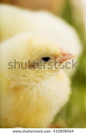 Close up photo of little chickens on the green grass - stock photo