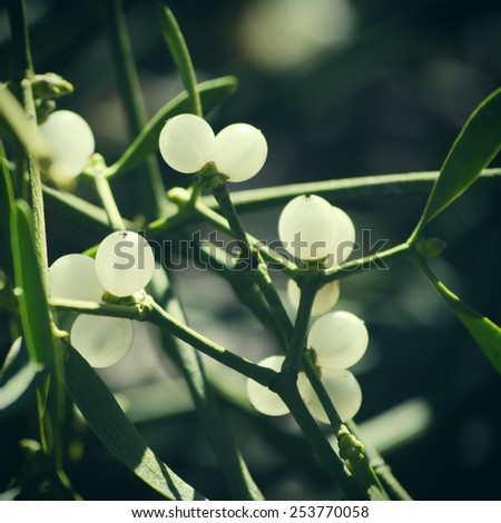 Close up Photo of Mistletoe in Winter Time - stock photo