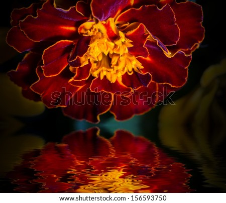 Close-up photo of orange Tagetes flower (marigold) reflected in water surface.  - stock photo