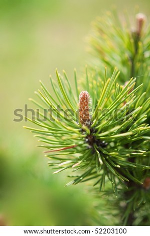 Close-up photo of pine branch. - stock photo