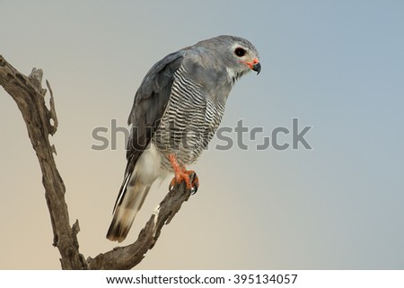 Close up photo of small raptor, Lizard Buzzard, Kaupifalco monogrammicus perched on dead branch against blurred abstract blue and orange background. South Africa, Entabeni Nature Reserve.