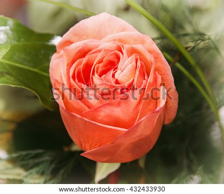 Close up photo of the red rose flower. Symbol of love. Vibrant colors. Detailed natural scene. Beauty in nature. For you.  - stock photo