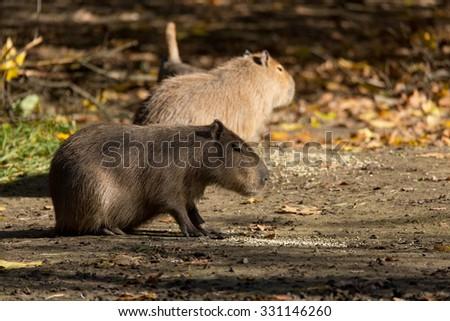 Close up photo of two Capybara, Hydrochoerus hydrochaeris, the largest rodent - stock photo