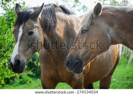 close up photo of two horses - stock photo