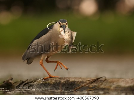 Close up photo of water bird Black-crowned Night Heron, Nycticorax nycticorax from front view, with big fish in its beak, walking on old trunk submerged in water against blurred background. - stock photo