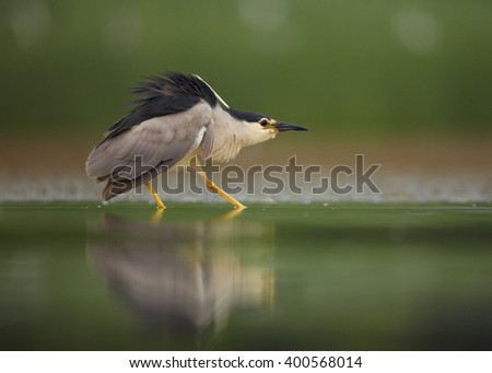 Close up photo of water bird Black-crowned Night Heron, Nycticorax nycticorax from water level, in threatening pose, against blurred background. - stock photo