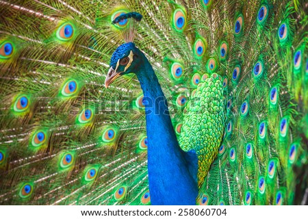 Close up photo of wild Peacock with feathers out