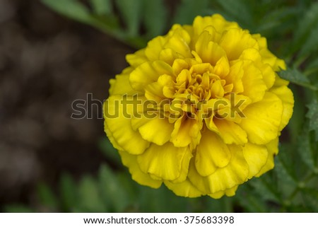 Close up photo of Yellow Marigold flowers - stock photo