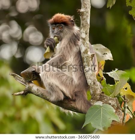 Close up photo Ugandan Red Colobus Piliocolobus tephrosceles on branch,feeding on fruits. They are often hunted by chimpanzees.Grey fur,orange head,background with nice bokeh,rainforest,Kibale,Uganda. - stock photo