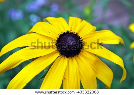 Close-up photograph of a beautiful yellow rudbeckia flower (blacked-eyed-susan, coneflower). Macro, background, biology, biological. - stock photo