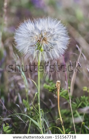 Close-up photograph of the downy Blow-ball seed head of Dandelion, made in late May. - stock photo