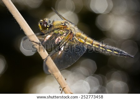 Close-up photography of dragonfly - stock photo