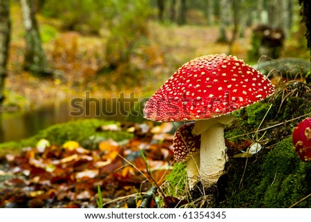 Close-up picture of a Amanita poisonous mushroom in nature - stock photo