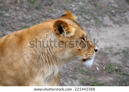 Close Up picture of a male lion.