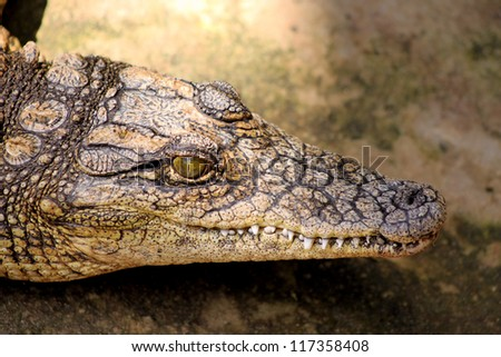 Close-up Picture of a Small Crocodiles Head
