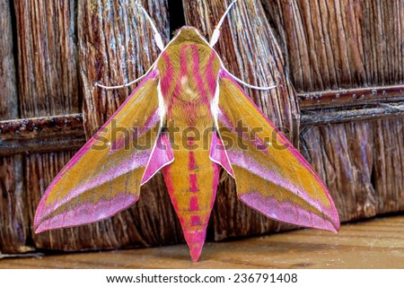 close-up picture of an elephant hawk moth - stock photo