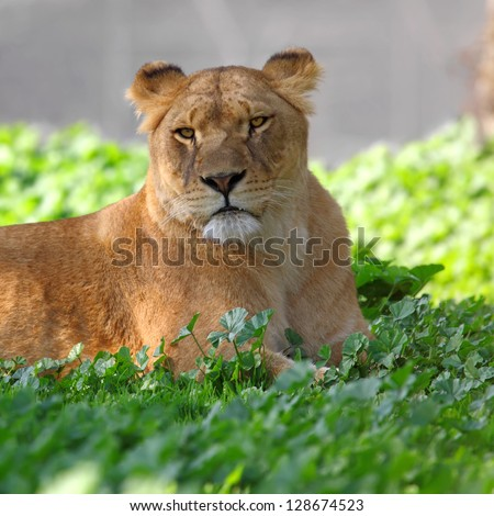 Close Up picture of lioness