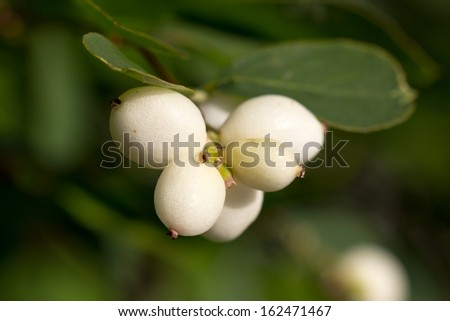 Close up picture of some common snowberries