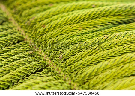 Close up pine leaves