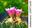 Close-up pink cactus flower. - stock photo