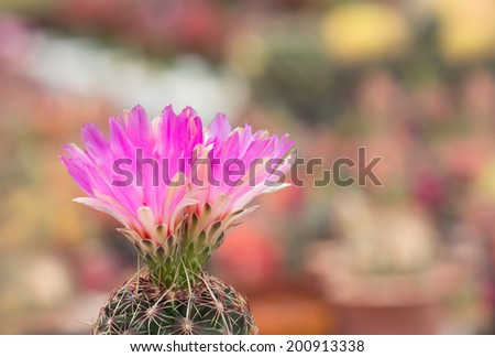 close up pink cactus flower.  - stock photo