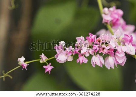 Close up Pink ivy flower - stock photo