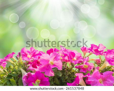 Close up pink petunia flower isolated over green spring background - stock photo