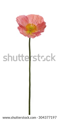 close up pink red poppy flower long stem isolated on white background deep focus