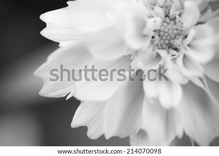 Close up pollen of  white macro flower in monotone
