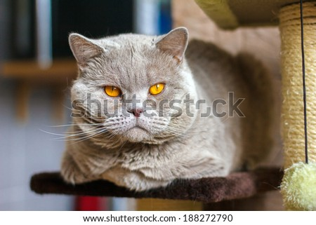 Close-up portrait British Shorthair lilac cat lies on a shelf. Shallow depth of field