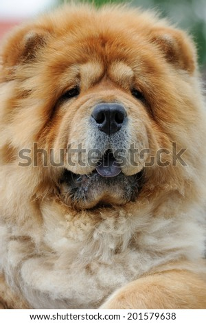 Close-up portrait brown chow chow dog - stock photo