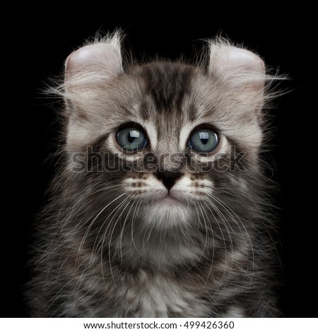 Close-up Portrait Fluffy American Curl Kitty with Twisted Ears and magic eyes Isolated Black Background, front view